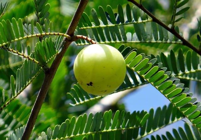 פרי האמלה