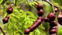 עץ השיקאקאי