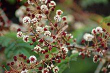acacia concinna - שיקאקי