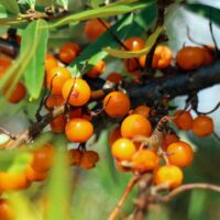 שמן אובליפיחה Sea Buckthorn