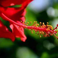 פרח היביסקוס, אבקת היביסקוס