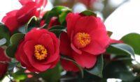 פרח קמליה יפנית